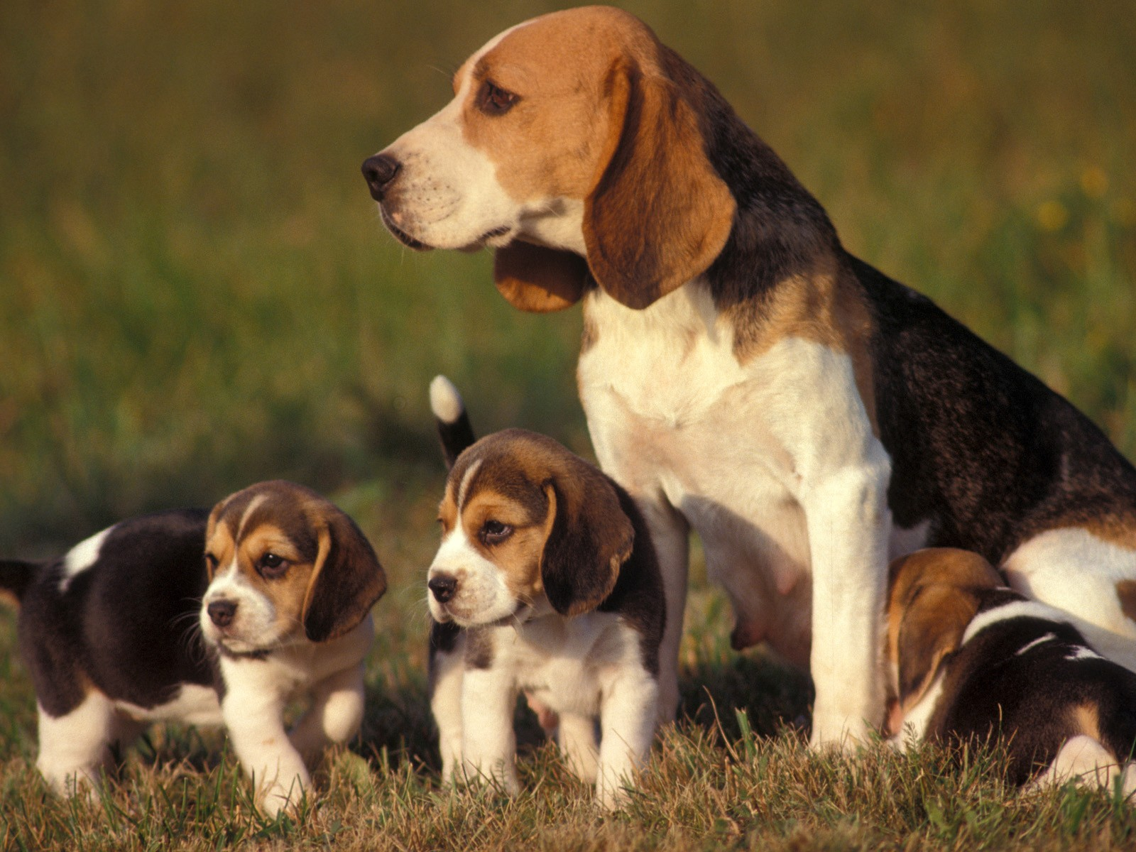 beagle-puppies_6