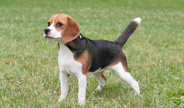 Planning To Get A Beagle Here Are 6 Things You Should