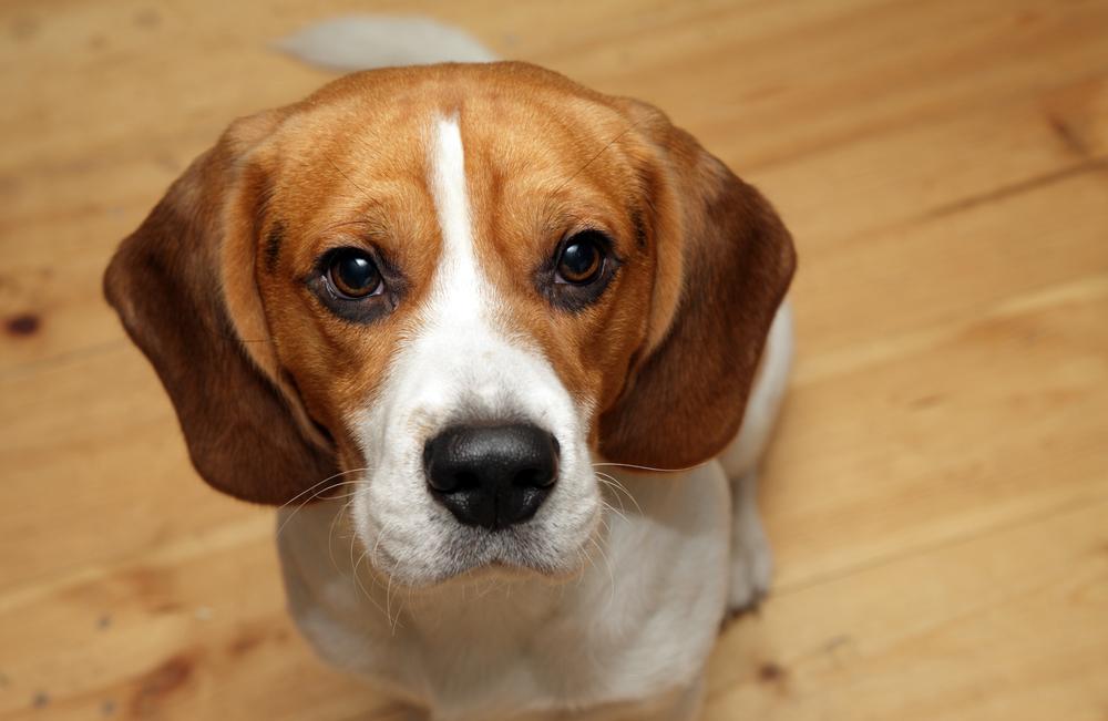 beagle_3