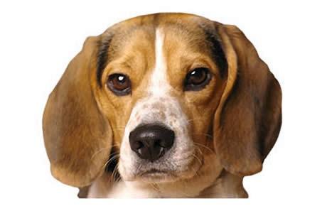 beagle_4