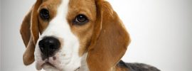 Planning to Get a Beagle? Here are 6 Things You Should Know
