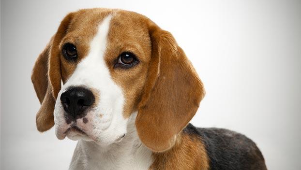 beagle_6