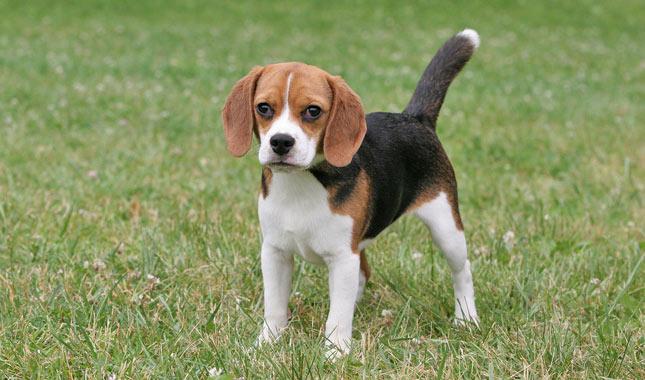 beagle_8