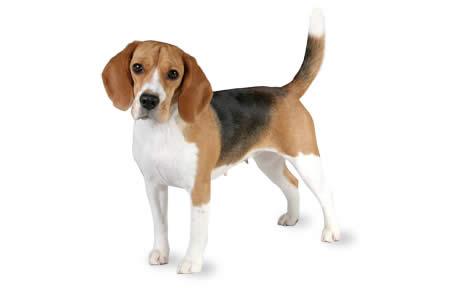 beagles_1