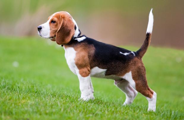beagles_5