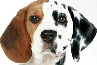 beagles_7