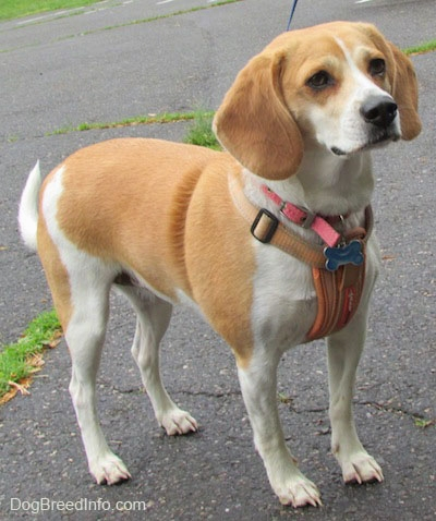 beagles_8