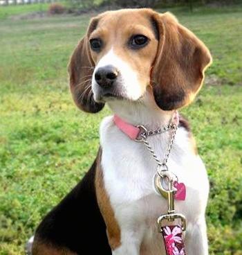 beagles_9