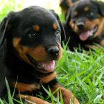 Rottweiler-puppy_1