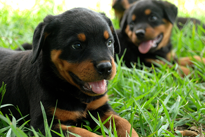 Top 10 Misconceptions About Rottweilers Animalso