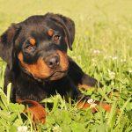Rottweiler-puppy_3