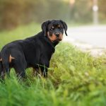 Rottweiler-puppy_4