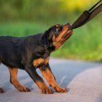 Rottweiler-puppy_6
