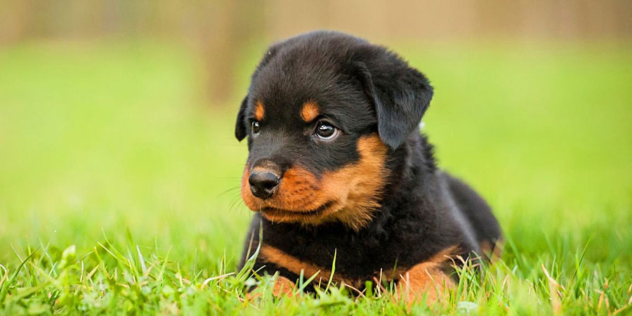 Rottweiler Big Dog Photos