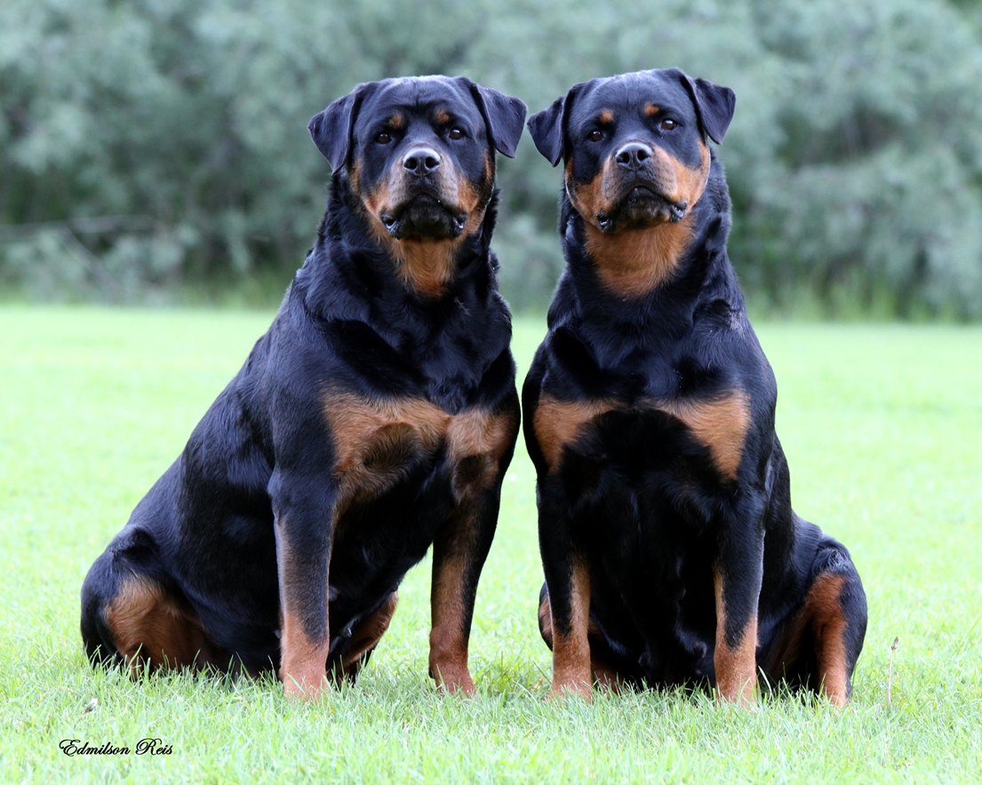 rottweilers_1