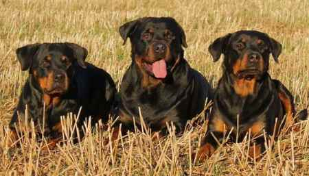 rottweilers_4