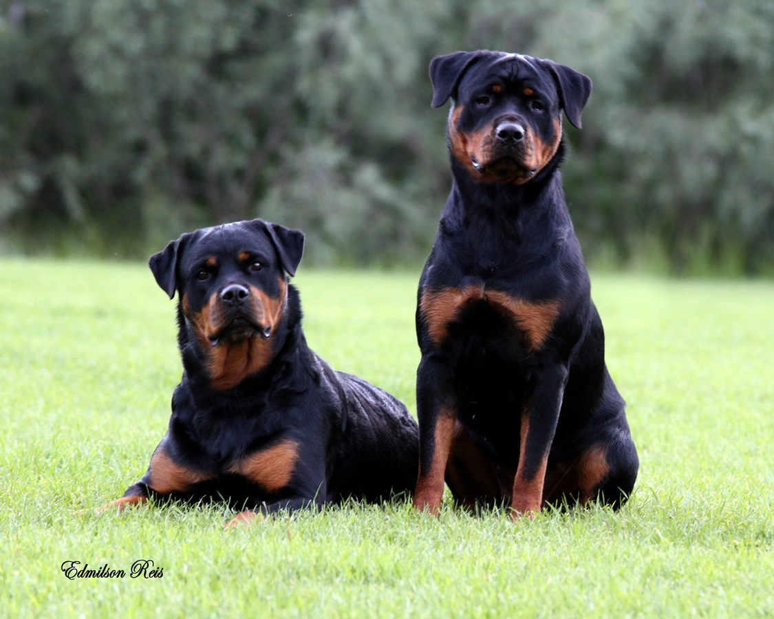 rottweilers_7