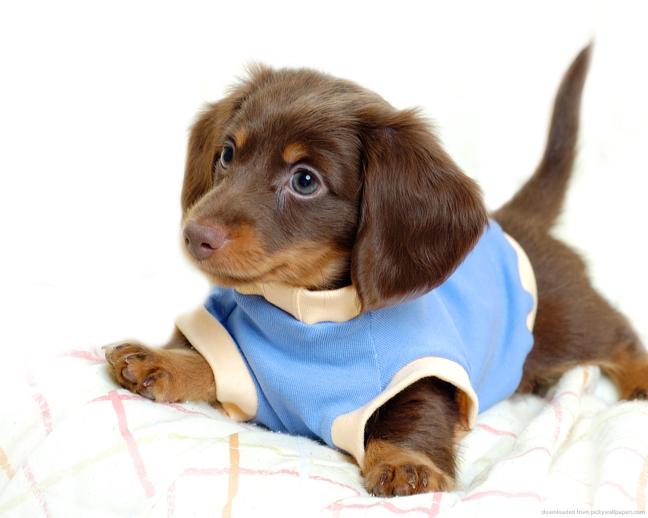 Best Puppy Food For Dachshunds