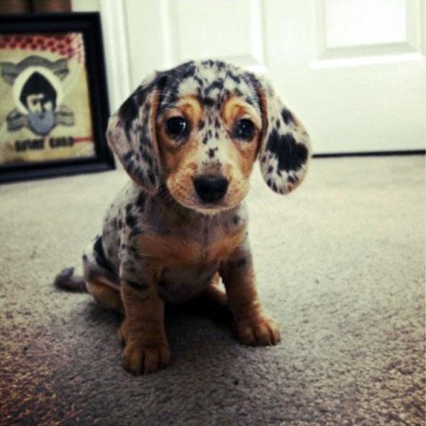 dachshund-puppy_1