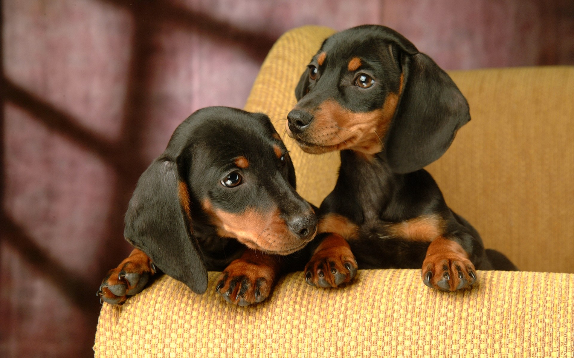 7 Interesting Facts About The Dachshund Animalso