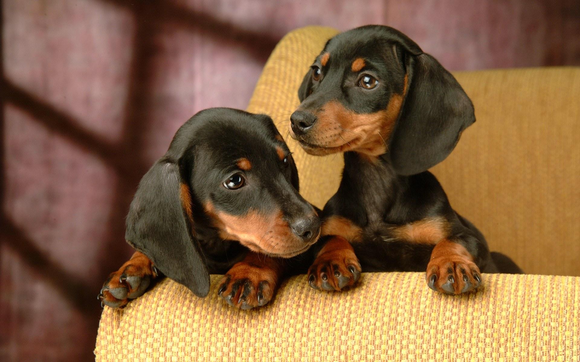 dachshund-puppies_6