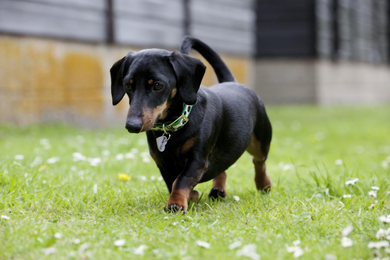 miniature-dachshund_5