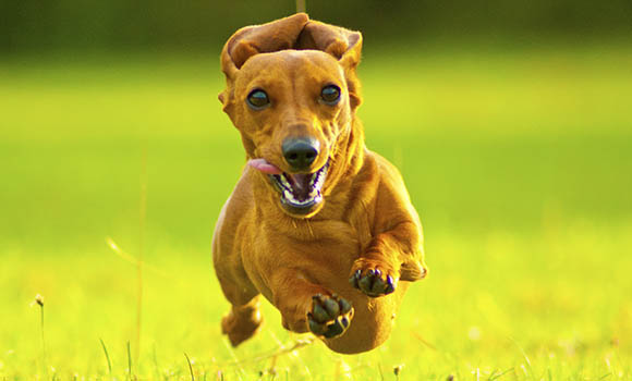 wiener-dog_2