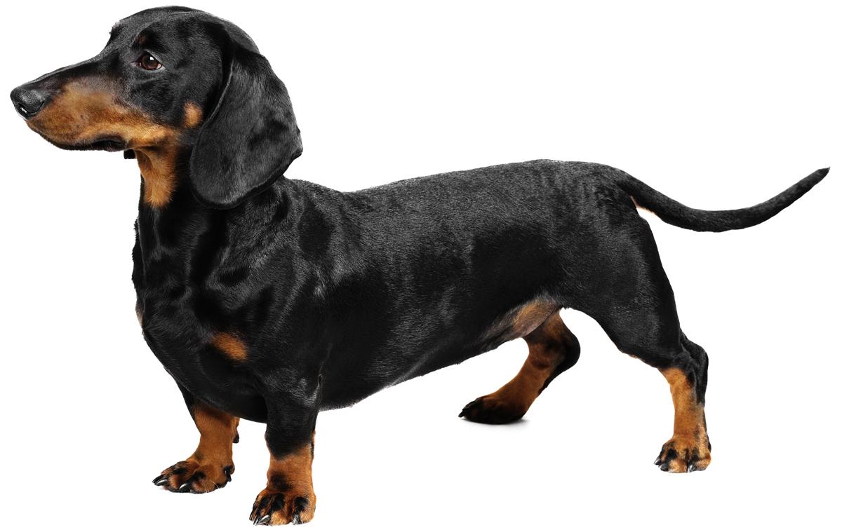 wiener-dog_3