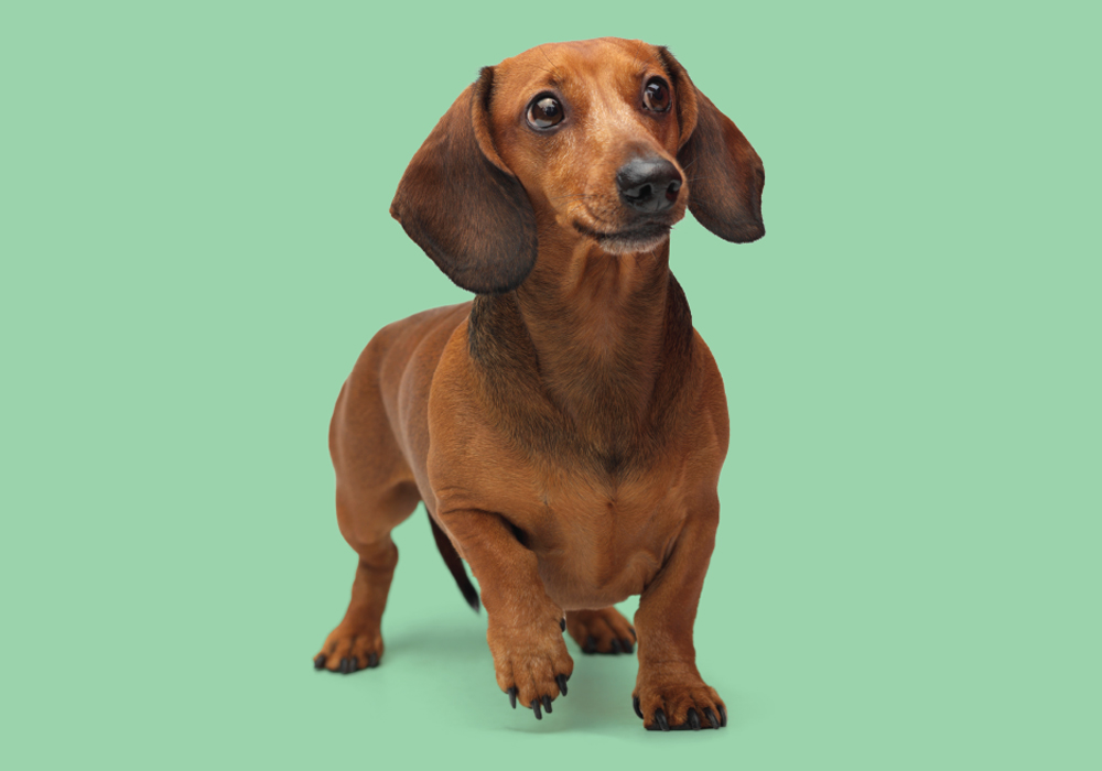 Dachshund breed intelligence