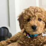 Mini-Goldendoodle_1