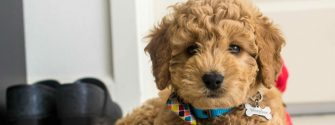 Mini-Goldendoodle