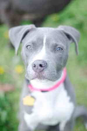 Female Blue Nose American Pitbull Terrier