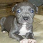 blue-nose-pitbull_1