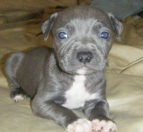 "9 Things You Should ""Nose"" about the Blue Nose Pitbull"