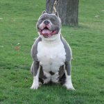 blue-nose-pitbull_2
