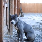 blue-nose-pitbull_5