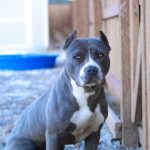 blue-nose-pitbull_6