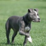 blue-nose-pitbull_8