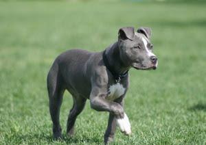 blue-nose-pitbull_8