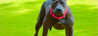 """9 Things You Should """"Nose"""" about the Blue Nose Pitbull"""