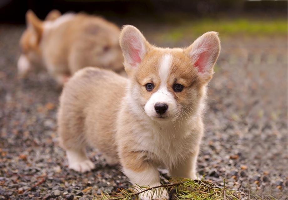 corgi-puppies_1