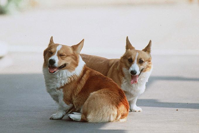 corgi-puppies_3