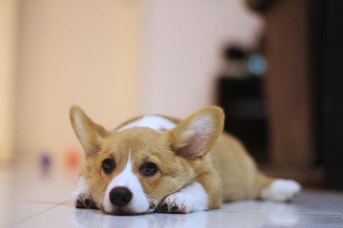 Corgi puppy laid
