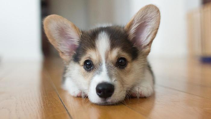 corgi-puppies_5