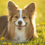 corgi-puppies_6
