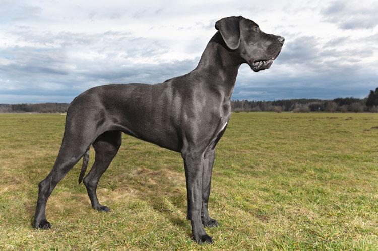 great-dane-dog_2