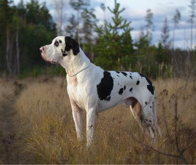great-dane-dog_5