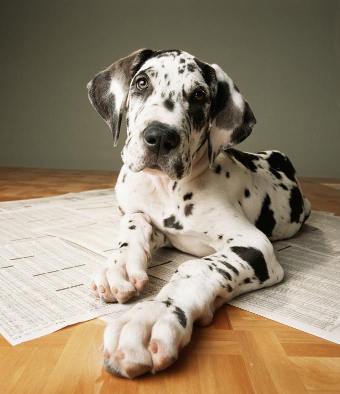 great-dane-puppies_2