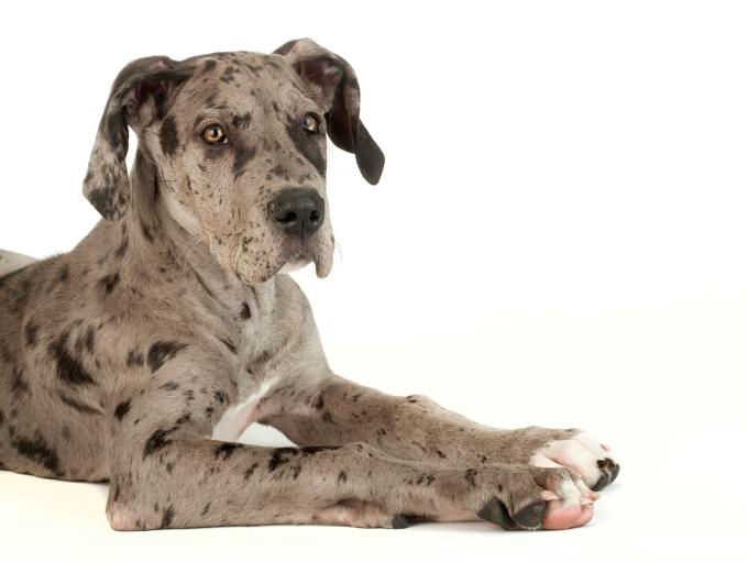 great-dane-puppies_4