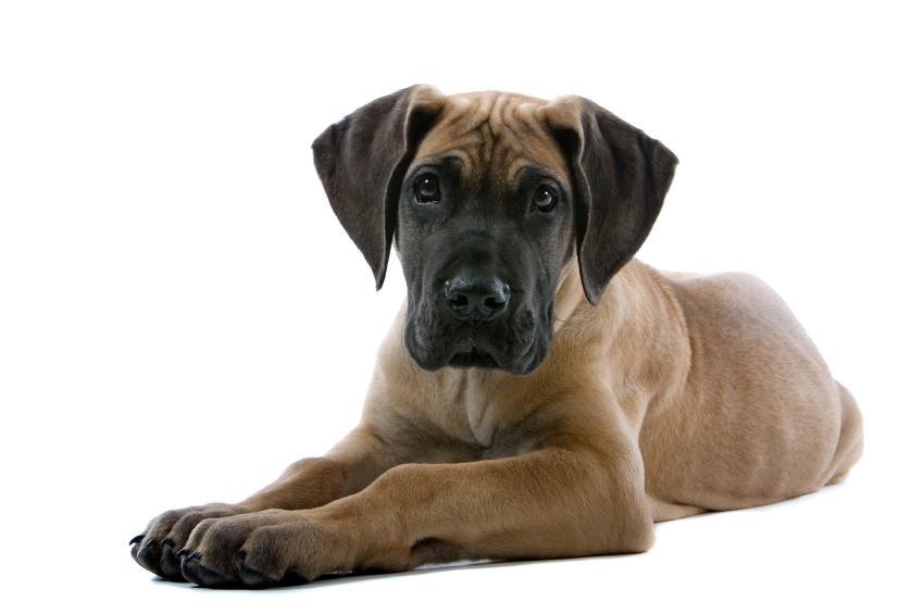great-dane-puppies_6